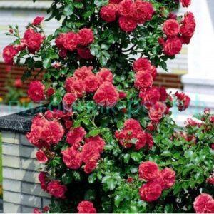 Роза Розариум Ютерсен(Rosarium Uetersen)