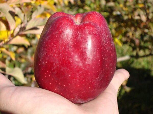 Яблоня сорт Старкримсон